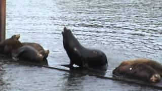 NO to HR 2578: Do Not Kill Fun Loving Sea Lions Astoria 06/11/12 .mpg