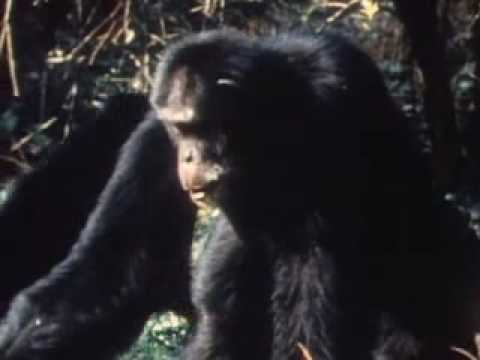 Chimps Attacking Leopard