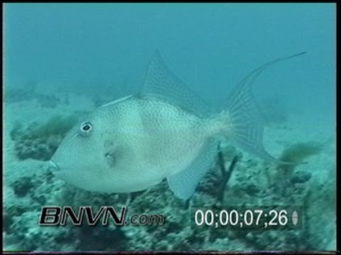 5/1/1999 Gulf of Mexico Triggerfish