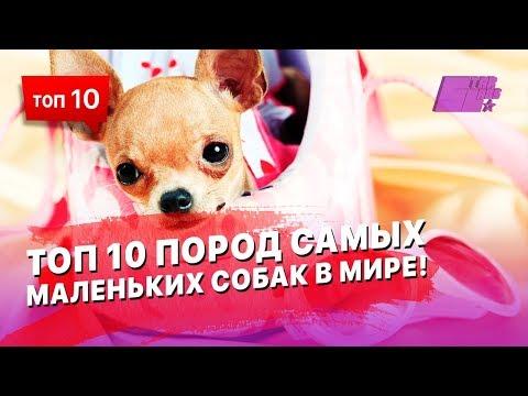 ТОП 10 пород самых маленьких собак в Мире!