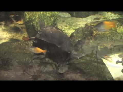 A Weighty Matter for a Fly River Turtle at Cleveland Metroparks Zoo