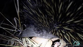 Amy Wild Adventures: The Short-beaked Echidna