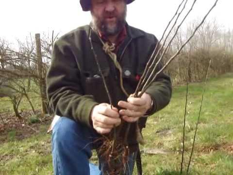 Raising your own apple tree root stocks
