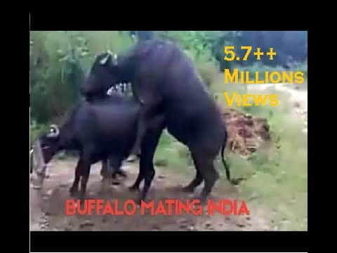Buffalo Mating.3gp video