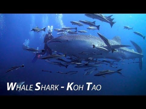 download lagu Whale Shark - The Gentle Giants Of The Deep gratis