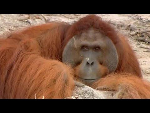 hercules the orangutan orangutan diary bbc youtube