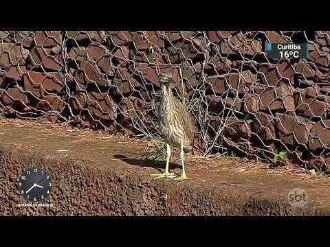 Aves raras fazem ninho em avenida e surpreendem população no MS | SBT Notícias (20/11/17)