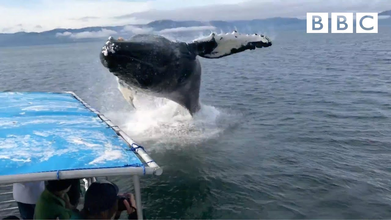 WHALES VS BOATS: One landed on top of me! - BBC