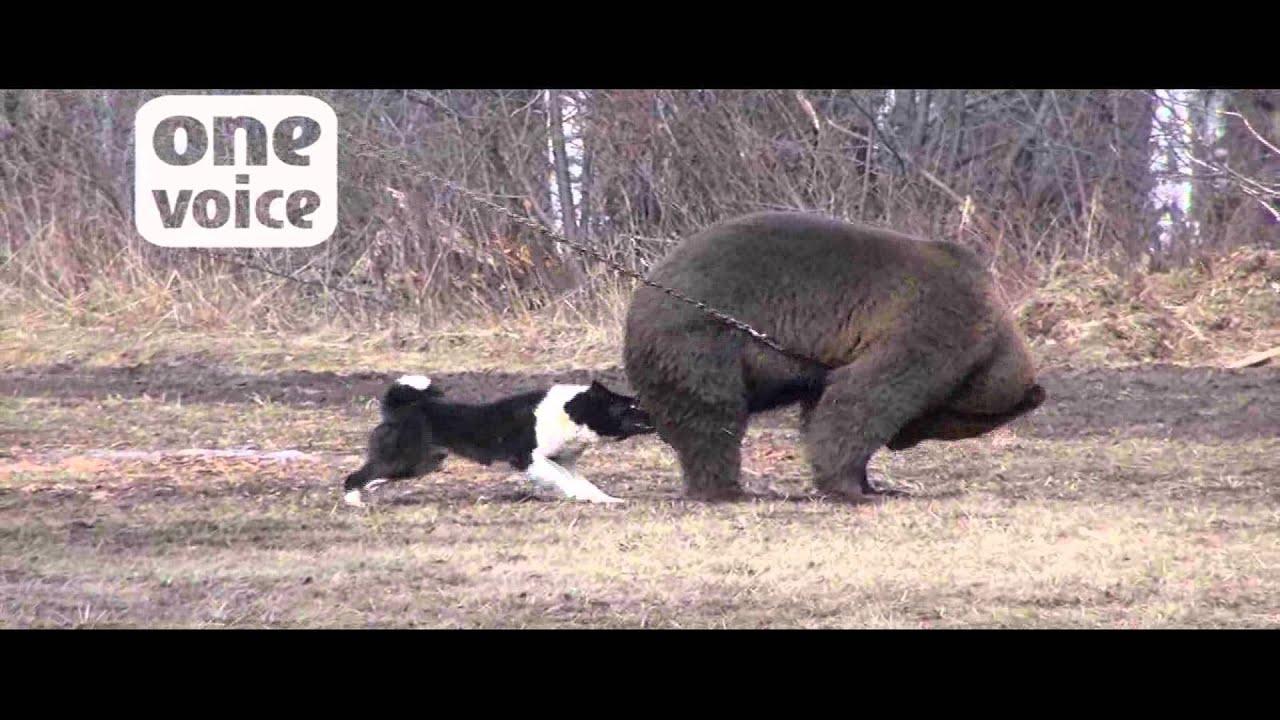 combats de chiens de chasse et d u0026 39 ours en russie