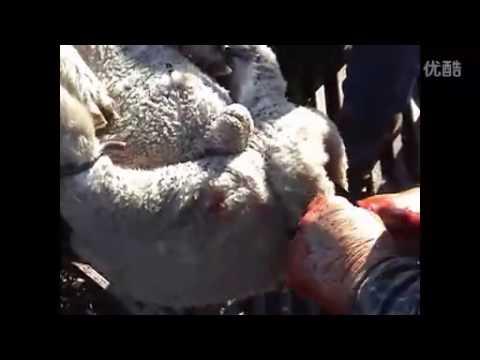 殘忍的澳洲羊毛