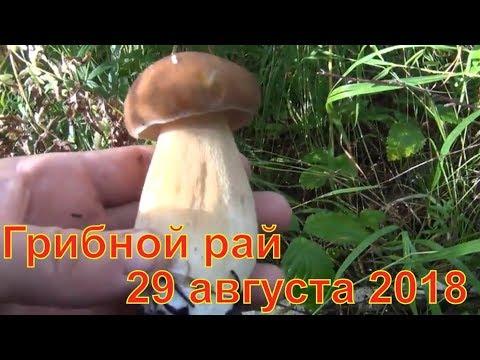Грибной рай и лекарственные травы 29 08 2018 Белый гриб маслята лисички волнушки Сбор грибов тихая
