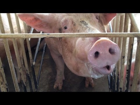 Shocking Animal Cruelty At Tyson Foods Supplier (2013 Webby Award Winner) video