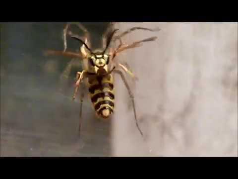 frelon contre 2 araignée #1