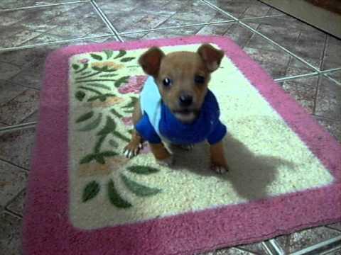Duque, o menor cão do mundo! Music Videos