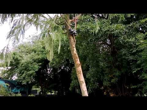 ตอนกิ่ง มะขามป้อมอินเดีย 20130817