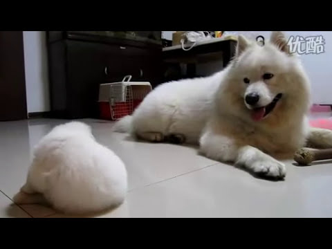 24days old Samoyed puppy 24天小萨摩耶