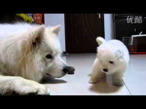 24days old Samoyed puppy 24天小萨摩耶