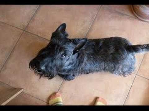 Scottish Terrier Midas Video