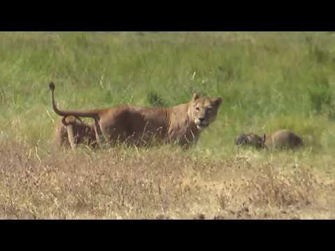 Wildlife in Ngorongoro (Tanzania): Tanzaniyanın Nqoronqoro qoruğunda çəkdiyimiz ov