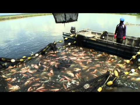 Sustainable Tilapia Farming Demo, Tropical Aquaculture Products, Inc.