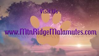 Mountain Ridge Giant Alaskan  Malamutes - Four Wk old Giant Alaskan Malamute Puppy