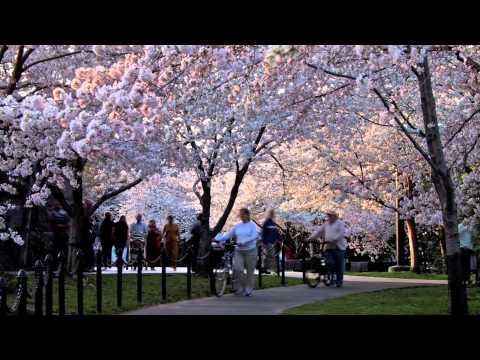 Washington dc cherry blossom festival dates 2015