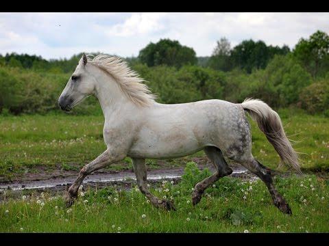 Лошади   (белокрылые лошадки)