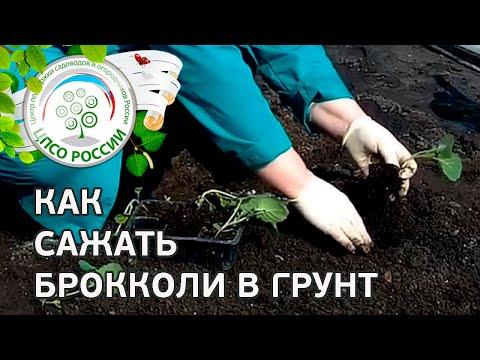 Как правильно сажать капусту в открытый грунт 100