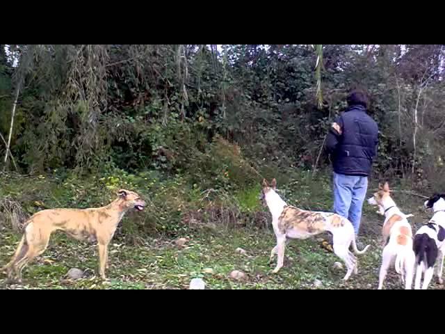 conejiadas caza con galgos curico pat. 2