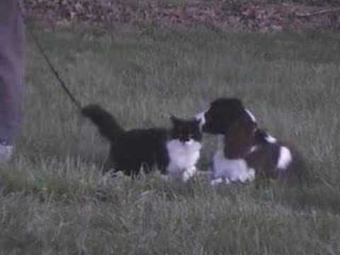Springer Spaniel in Training at DarnFar Ranch Video