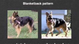 German Shepherd Coat Colors - GSD Coat Colors and Patterns