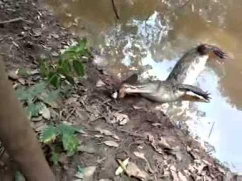 ¡Se equivocó de presa! Yacaré atacó a una anguila eléctrica y murió al morderla