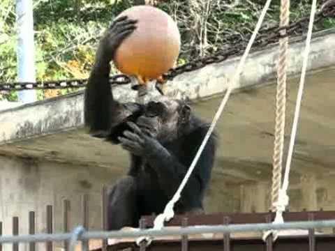 チンパンジータワーとチンパンジー @東山動物園