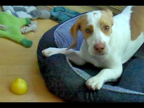 Lemon Beagle Dog vs. Lemon : Cute Dog Maymo