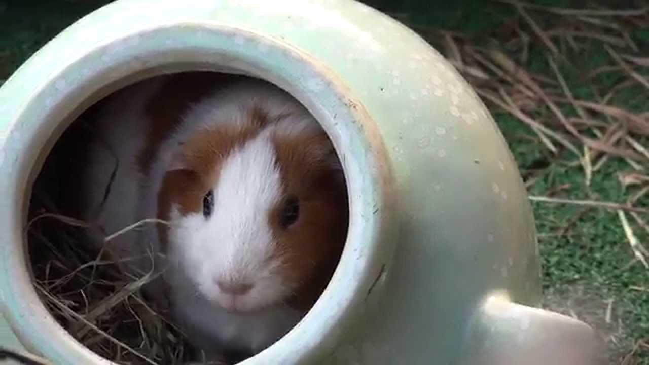 テンジクネズミの画像 p1_21