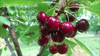 Early Lory & Sweet Early cherries Overview