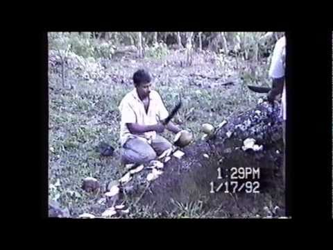 KALI Climbing A Coconut Tree