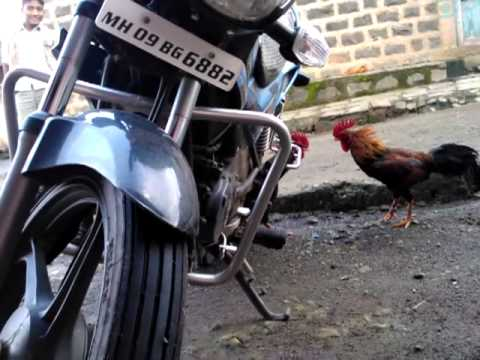 cock vs cock fighting