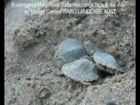 Mary River Turtle Hatchlings Race to the River