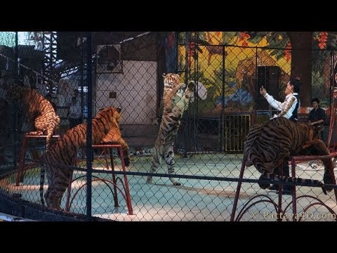 Pattaya Attractions Sriracha Tiger Zoo Full Tiger Show