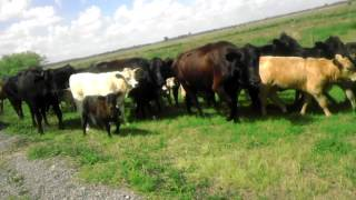 cows stop traffic in florida