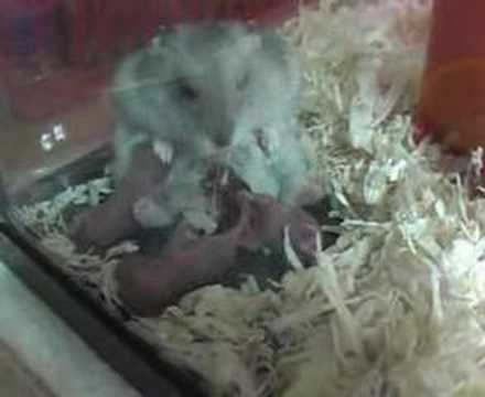 pictures of hamsters giving birth. Baby Hamsters. Hamster giving birth