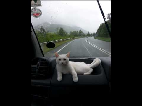 [Bella The Travelling Cat | Travelling Cats | Uk Most Travelled C] Video