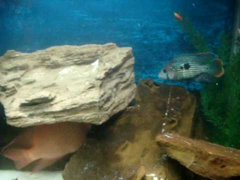 goldfish tank mates. Tank mates are a Texas cichlid