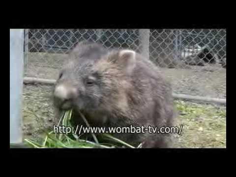お食事中ウォンバット@五月山動物園  by wombat-tv