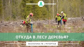 Откуда в лесу деревья?