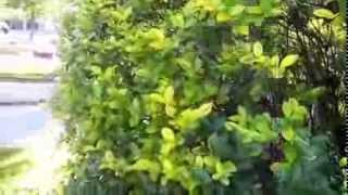 Cultivos Ornamentales Ligustrina (Ligustrum ovalifolium)