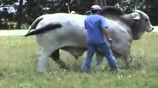 Mini Brahma Bull