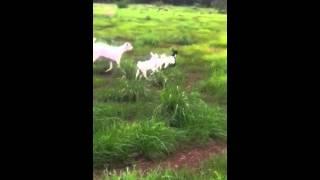 Goat Hoarding Ethiopia   Getafan  Mechanized Farming  Kota Binshangul Ethiopia