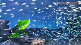 Cá Neon Vua - Cá Tam Giác - Neon King Fish - Triangles Fish